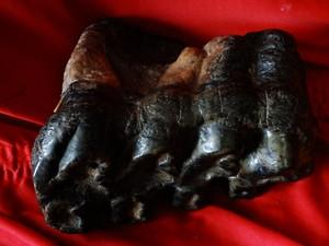 Dente de mastodonte (Foto: Donicélio Nunes /Arquivo pessoal)