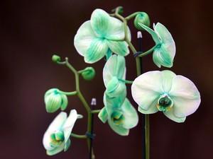 Green Mystique é originalmente uma orquídea branca, colorida com tinta especial verde (Foto: Divulgação Explofora/Humberto de Castro)