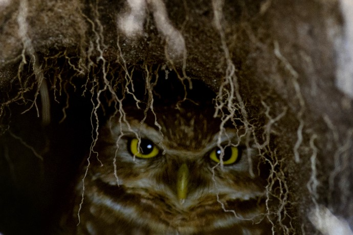 Coruja em ninho próximo ao buraco 18 no  (Foto: JIM WATSON/AFP)