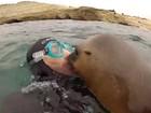 Veja 'foca beijoqueira' e mais cenas curiosas com esse animal