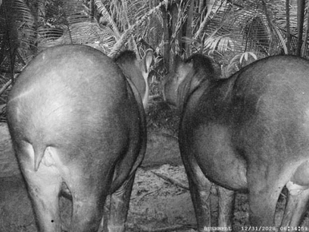 Exemplares de 'Tapirus kabomani' flagrados na floresta com armadilha fotográfica (Foto: 'Journal of Mammalogy'/Mario Cozzuol)