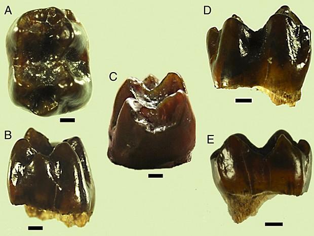 Dentes de macacos encontrados por cientistas americanos no Quênia (Foto: PNAS/Divulgação)
