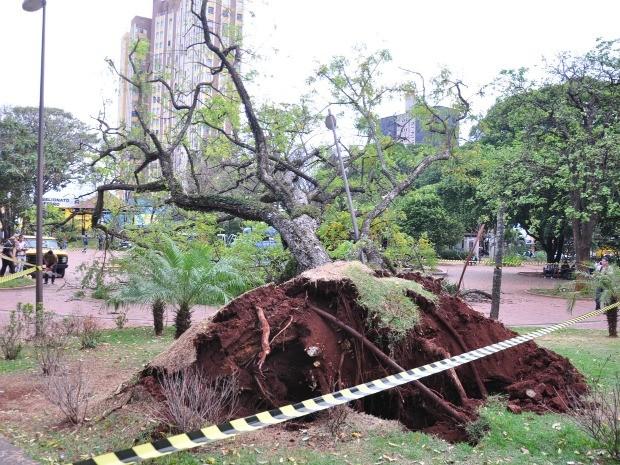 Árvore cai em praça de Campo Grande (Foto: Yarima Mecchi/G1 MS)