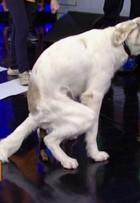 Cachorro faz cocô no palco do 'Domingão' e deixa dona sem graça