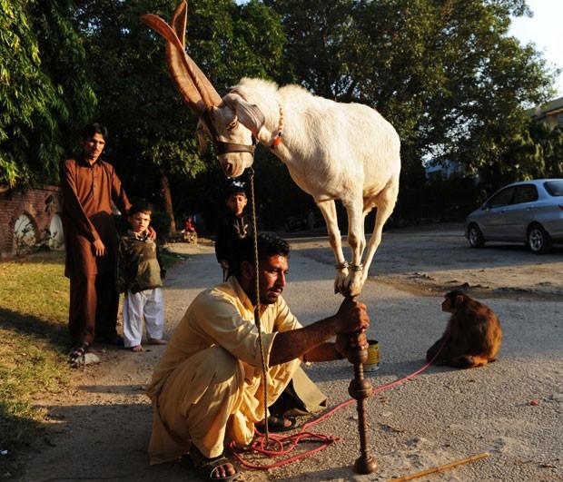 Cabra foi fotografada se equilibrando em um pedaço de madeira (Foto: Aamir Qureshi/AFP)