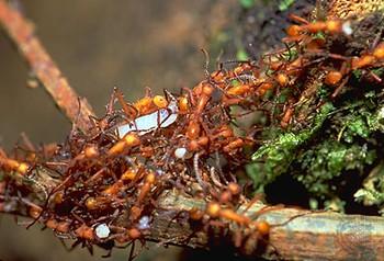 Foto (Foto: Formigas-correição (espécie: Eciton): Inteligência Coletiva)