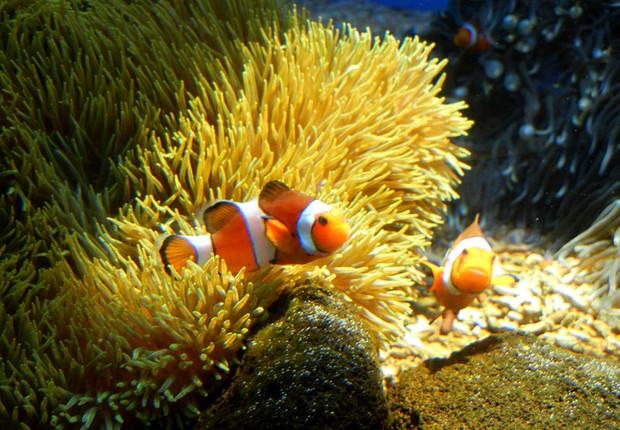 Peixes-palhao aproveitam o aconchego dos corais enquanto podem Foto JanineWikimedia