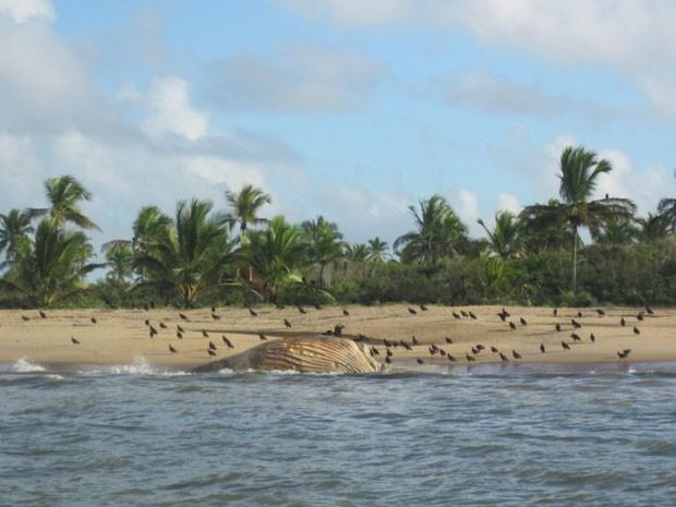 Baleia jubarte encalha na costa da Bahia (Foto: Divulgação/Projeto Baleia Jubarte)