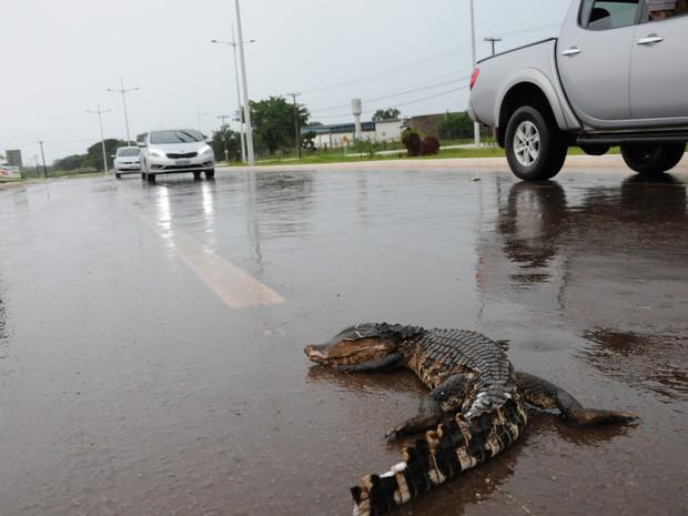 Carro passou por cima da cabeça do jacaré, que morreu no local (Foto: Wilson Rodrigues/Divulgação)