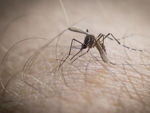 Aedes Aegypti mosquito da dengue (Foto: Douglas Aby Saber / Fotoarena)