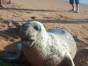 Elefante marinho apareceu em praia de Jacaraípe (Foto: Tatiane Serrano/ VC no ESTV)