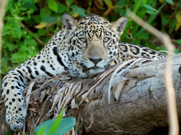 Onça-pintada, um dos animais típicos do Pantanal (Foto: Douglas Trent)