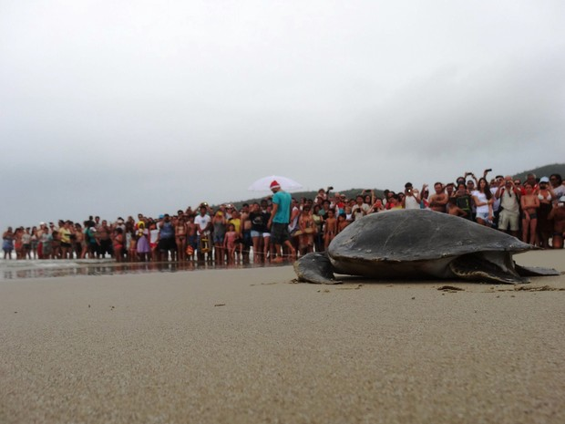 Tartaruga-verde foi devolvida ao mar no feriado de Natal (Foto: Tamar/Divulgação)