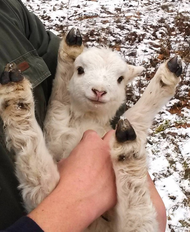 De perto, cordeiro com 2 dias de vida também parece 'comemorar' ao ser segurado no colo em fazenda em Nova York (EUA) (Foto: Reprodução/Imgur/ Mr_Euginovich)