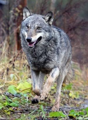 Pastor se envergonhou ao descobrir que 'cãozinho' que cuidaria de ovelhas era lobo (Foto: Arquivo/Alexey Gromov/AFP)