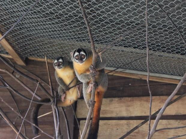 Diversas espécies de macacos aguardam o interesse de zoológicos (Foto: Ivanete Damasceno/G1)