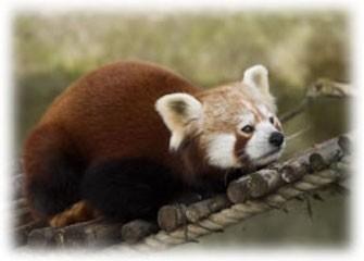 Panda Vermelho, na floresta (Foto: Divulgação/Mozilla)