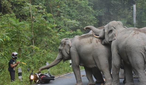 Homem parece 'implorar' para não ser atacado pelos elefantes (Foto: Reprodução/YouTube/khao yai news)