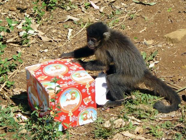 Macaco-prego tenta abrir o presente de natal (Foto: Divulgação Gramadozoo/Caroline Zanchi)