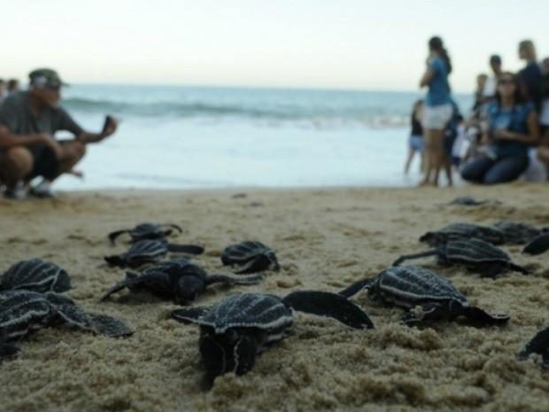 Tartarugas em risco de extinção nascem em praia de Vila Velha, Espírito Santo. (Fot Carlos Alberto Silva/ A Gazeta)