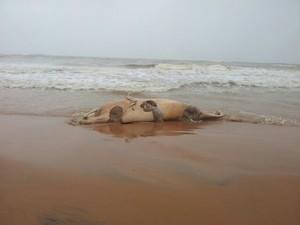 Baleia encontrada na Ponta da Fruta (Foto: Nilson Cardoso Silva / VC no ESTV)