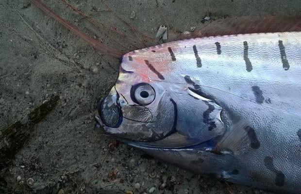 Peixe-remo foi achado em Aramoana Spit, perto do Porto de Otago (Foto: Reprodução/Facebook/New Zealand Marine Studies Centre and Aquarium)