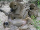 Pesquisa compara babuínos a humanos na hora de fazer amigos