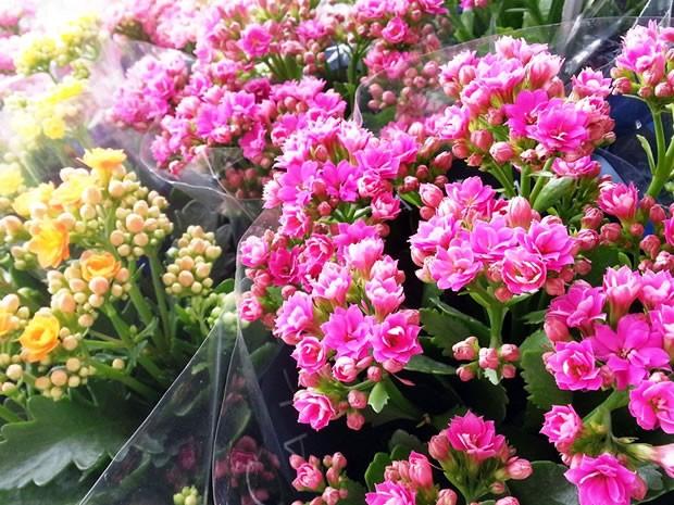 Festival de Flores em Cuiabá (Foto: Ingrid Piasecki/Assessoria)