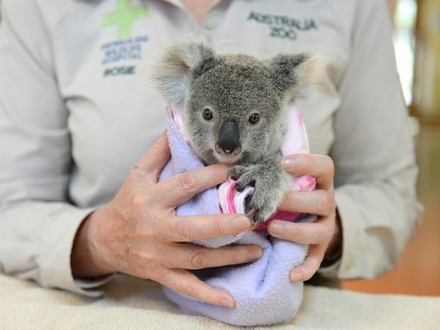 A coala Shayne, que sobreviveu a um acidente que matou sua mãe atropelada (Foto: Ben Beaden/Australia Zoo/AFP)
