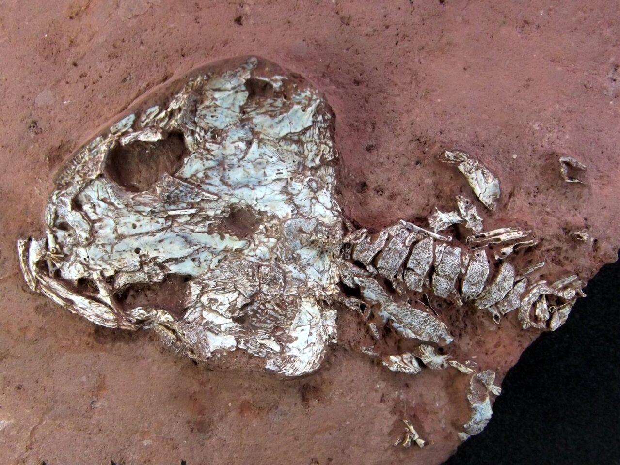 Crânio e parte do esqueleto do Timonya anneae (Foto: Juan Cisneros)
