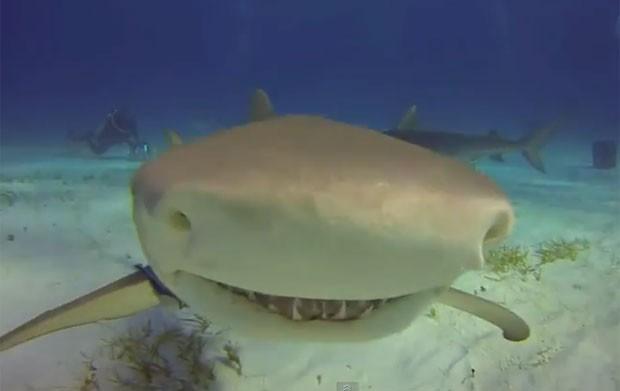 Tubarão-tigre deu cabeçada ao nadar em direção de uma câmera GoPro (Foto: Reprodução/YouTube/lasongo)