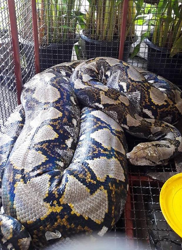 Cobra de mais de sete metros foi encontrada perto de restaurante em Bangcoc (Foto: Reprodução/Facebook/Bombeiros de Talat Phlu)