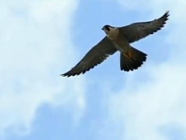 g1 falcão raramente encontrado no brasil é avistado em salto sp