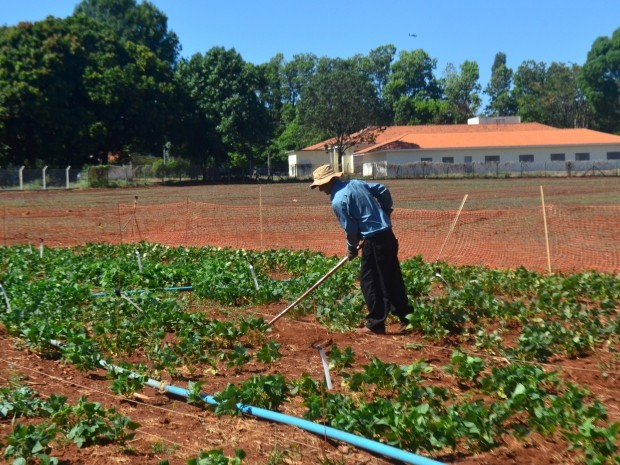 Funcionário do IAC trabalha em cultivo de feijão, em Campinas (Foto: Fernando Pacífico / G1 Campinas)