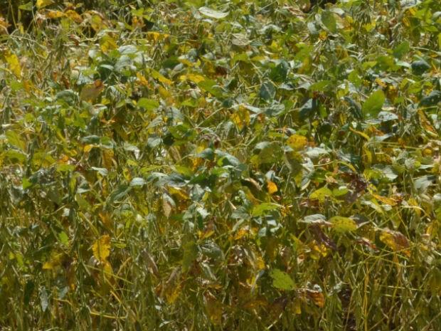 Plantio de soja sobre soja pode provocar uma série de problemas, alerta pesquisador (Foto: Anderson Viegas/Do Agrodebate)