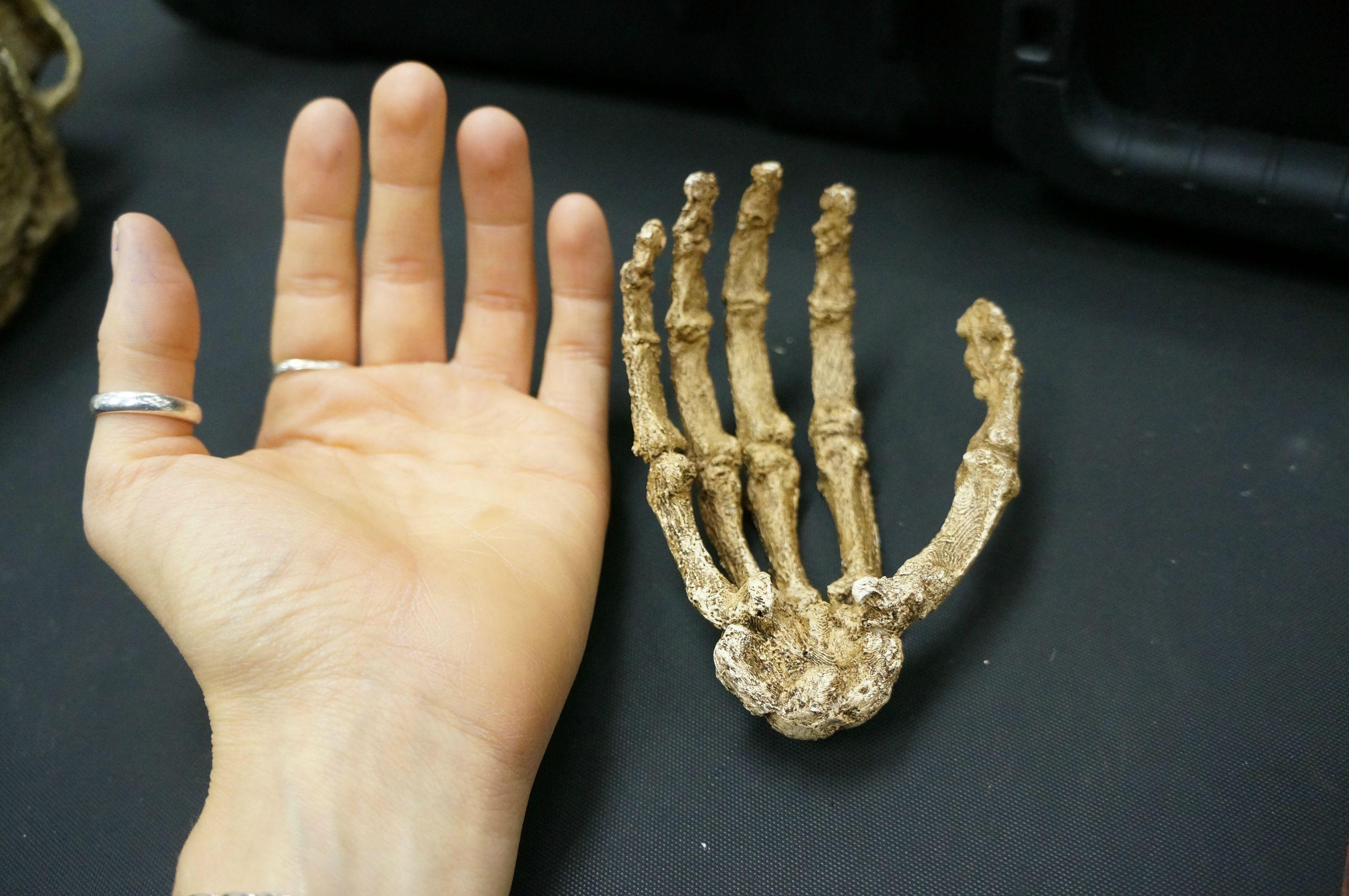 mão humana comparada com a mão do hominídeo - os dedos eram bem mais curvos (Foto: Reprodução)