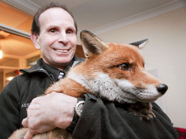 O britânico Steve Edgington mantém uma raposa em sua casa em Hassocks. Segundo ele, 'Miss Snooks' é um bom animal de estimação e leva 'uma vida de cachorro'. Steve e sua mulher, Nola, adotaram a raposa oito anos atrás, quando ela era filhote. (Foto: Andrew Hasson/Barcroft Media/Getty Images)