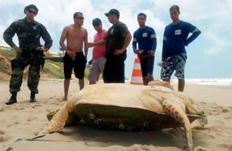 Tartaruga Verde media 1,5 metros (Foto: Igor Jácome/G1)