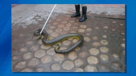 Sucuri de 3 metros aparece na porta de residência em Ladário, MS
