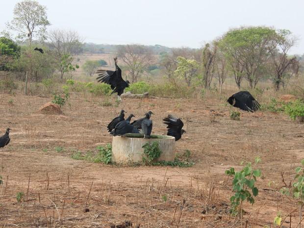 A seca no norte de Minas Gerais mata animais e atrai urubus da região (Foto: Valdiran Veloso/G1)