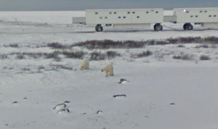 Dois ursos polares vivendo na tundra canadense (foto: Reprodução/Google Maps)