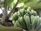 'Inflação' da banana faz criminosos roubarem centenas de cachos em SP