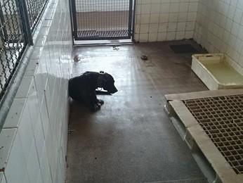 Cão apreendido por ser agressivo em canil do CCZ (Foto: Anderson Valle/Reprodução)