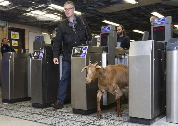 Bode passa catraca na estação de metrô de Vauxhall (Foto: Justin Tallis/AFP)