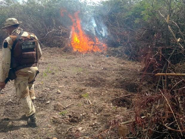 Plantação de maconha foi destruída em localidade da cidade de Barra (Foto:  CIPE/ Semiárido)