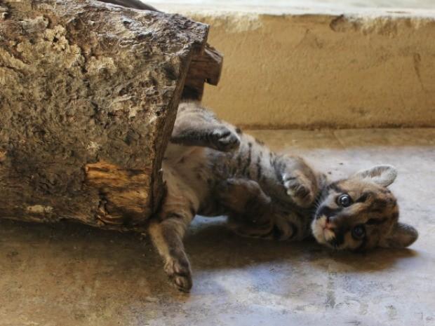 Filhote de onça parda é encontrado abandonado no interior de Rondônia (Foto: Larissa Matarésio/G1)