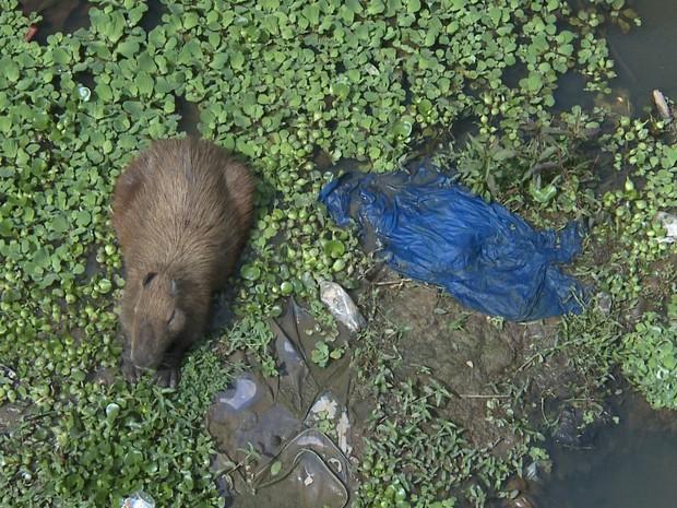 Capivara está em situação de risco, rodeada por lixo (Foto: Reprodução/TV Integração)