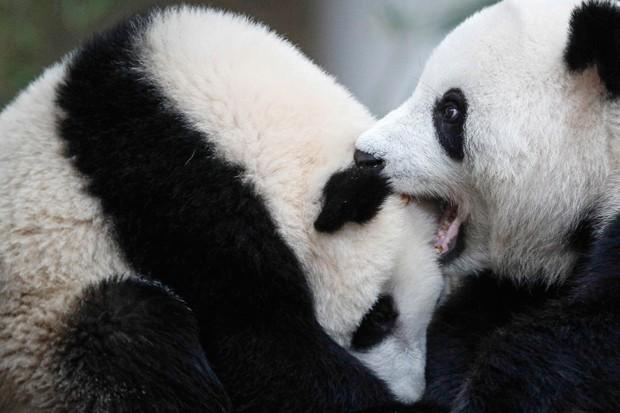 Estima-se que existem atualmente 2.060 pandas, dos quais 1.864 são adultos (Foto: Joshua Paul/AP)