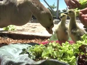 Veterinários afirmam que essa é a primeira gansa com bico artificial a se reproduzir (Foto: Reprodução / TV Tribuna)