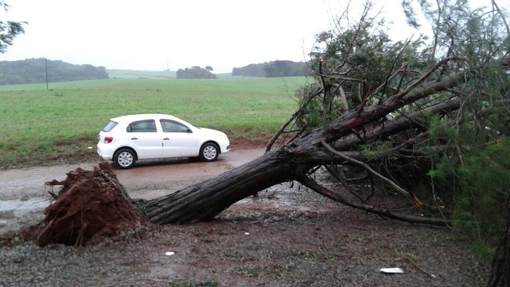 Árvore é derrubada pela força do vento em Sertão (Foto: Mateus Rodighero/RBS TV)